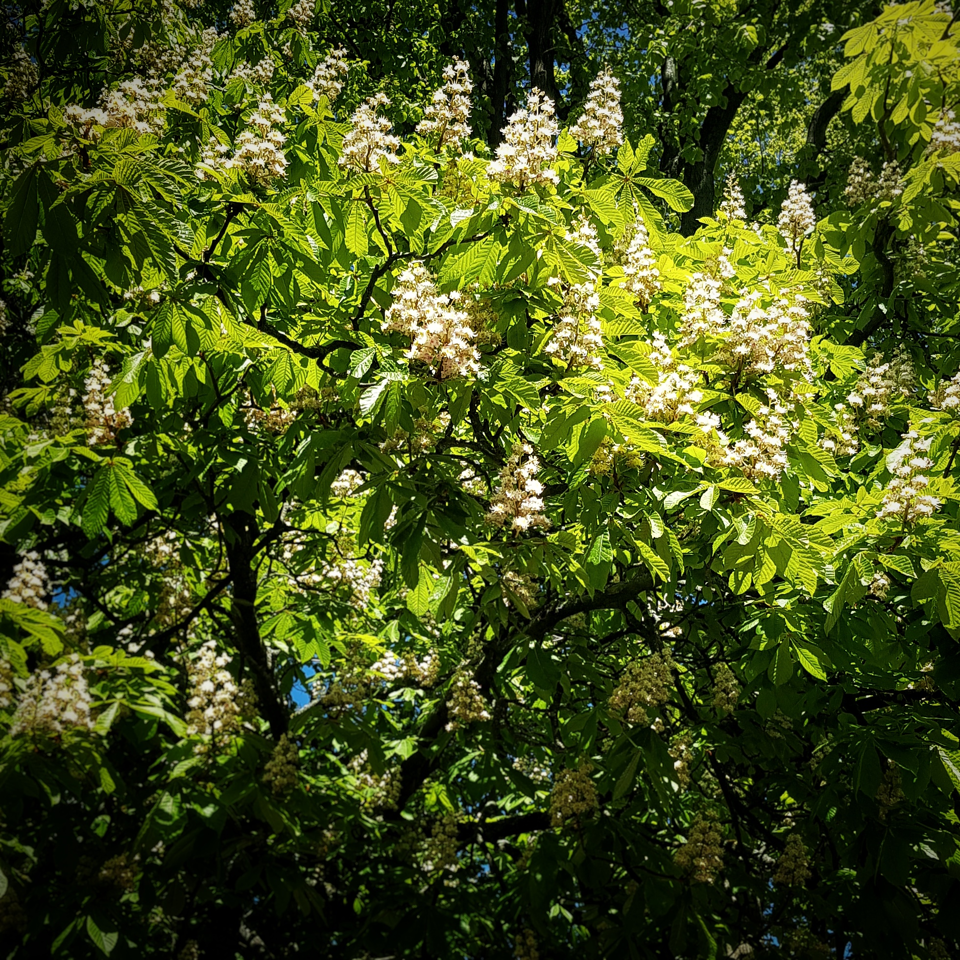 Day 131 - May 11: Chestnut in bloom