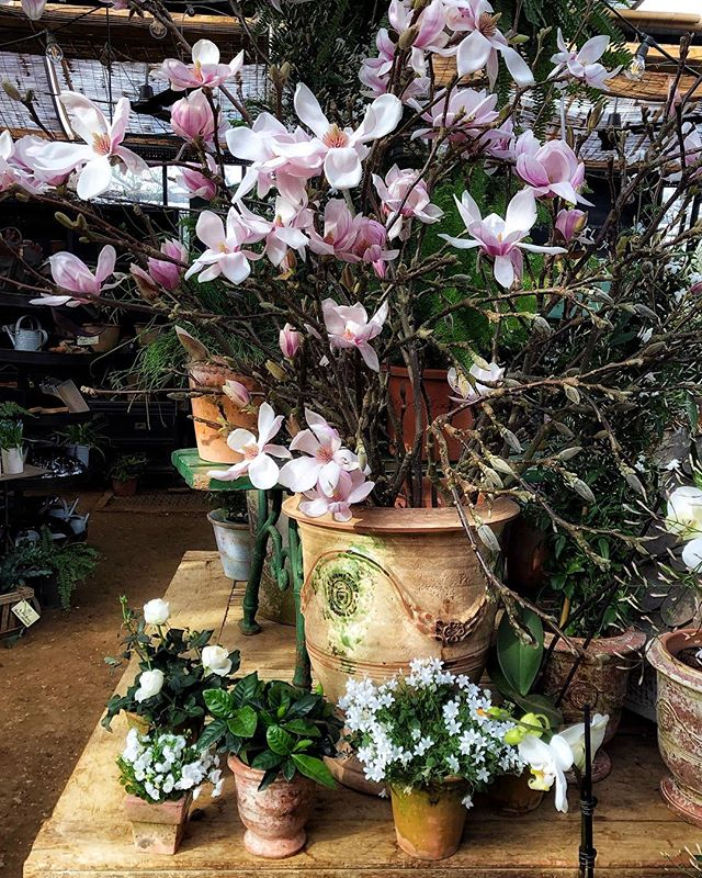 Lovely catch up with friends today and the first sighting of blooming Magnolia at Petersham Nurseries! 🌸