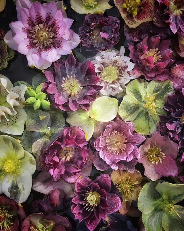 Hope you're all having a lovely weekend? It's alarmingly windy here today and I'm hoping the newly emerging cherry blossom in our locale survives the day! This bowl of beautiful floating hellebores was snapped earlier this week on a much calmer day @petershamnurseries 🌸