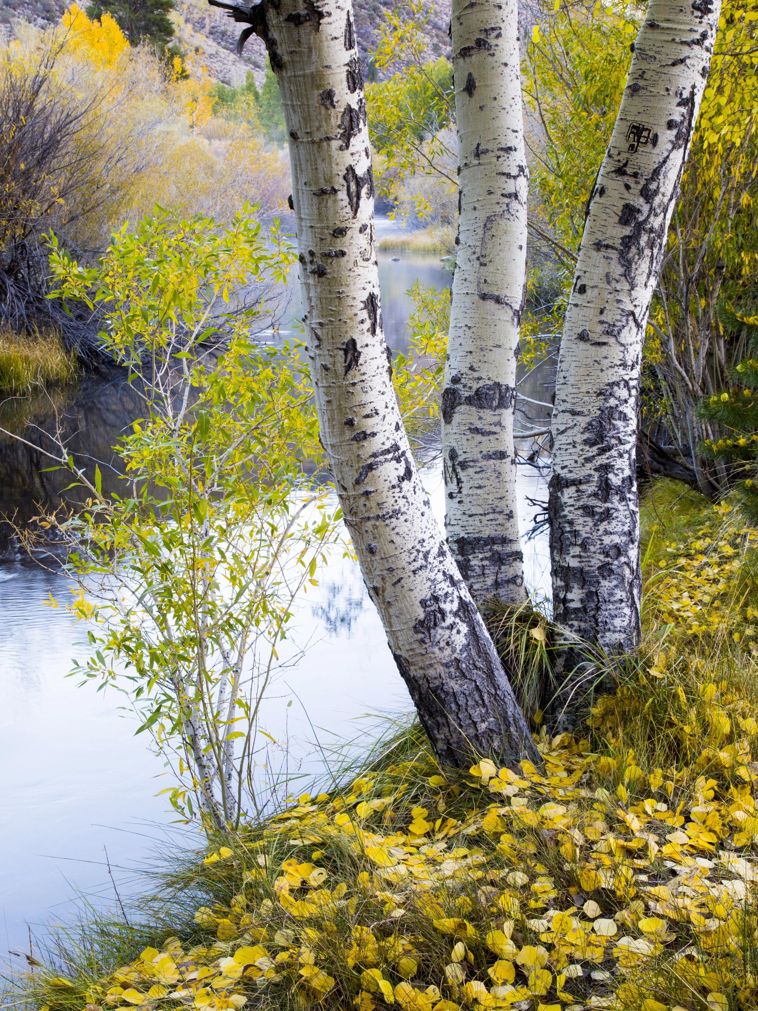 Aspens, Rush Creek