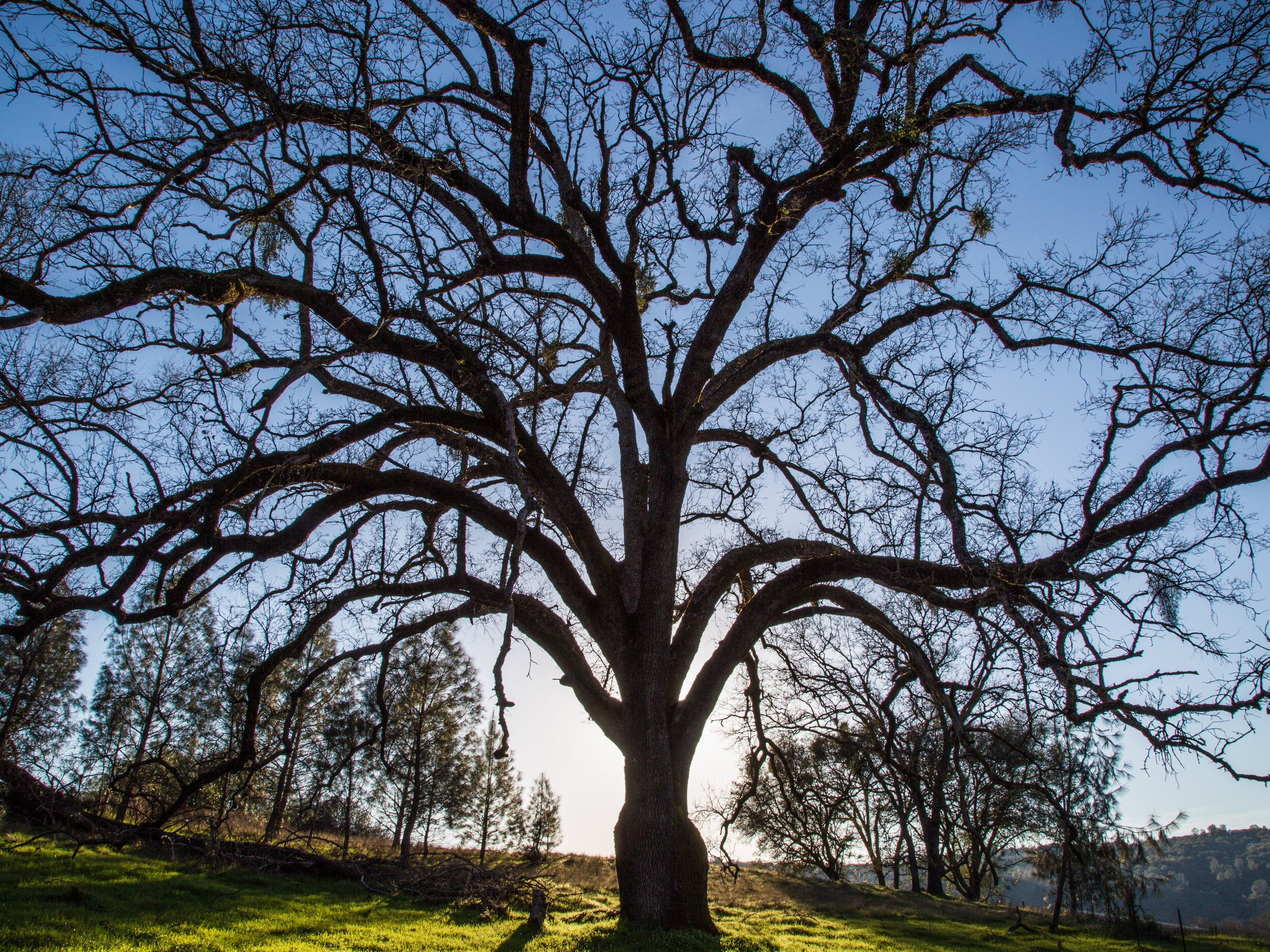 Solitary Oak Late Afternoon, Shingle Springs, CA