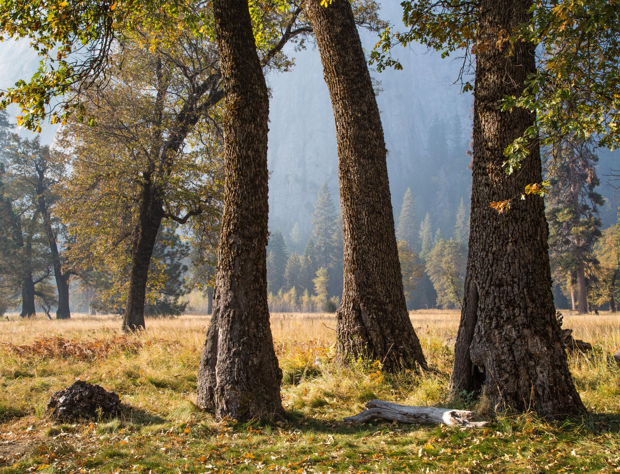 Oak Trees, El Capitan Meadow