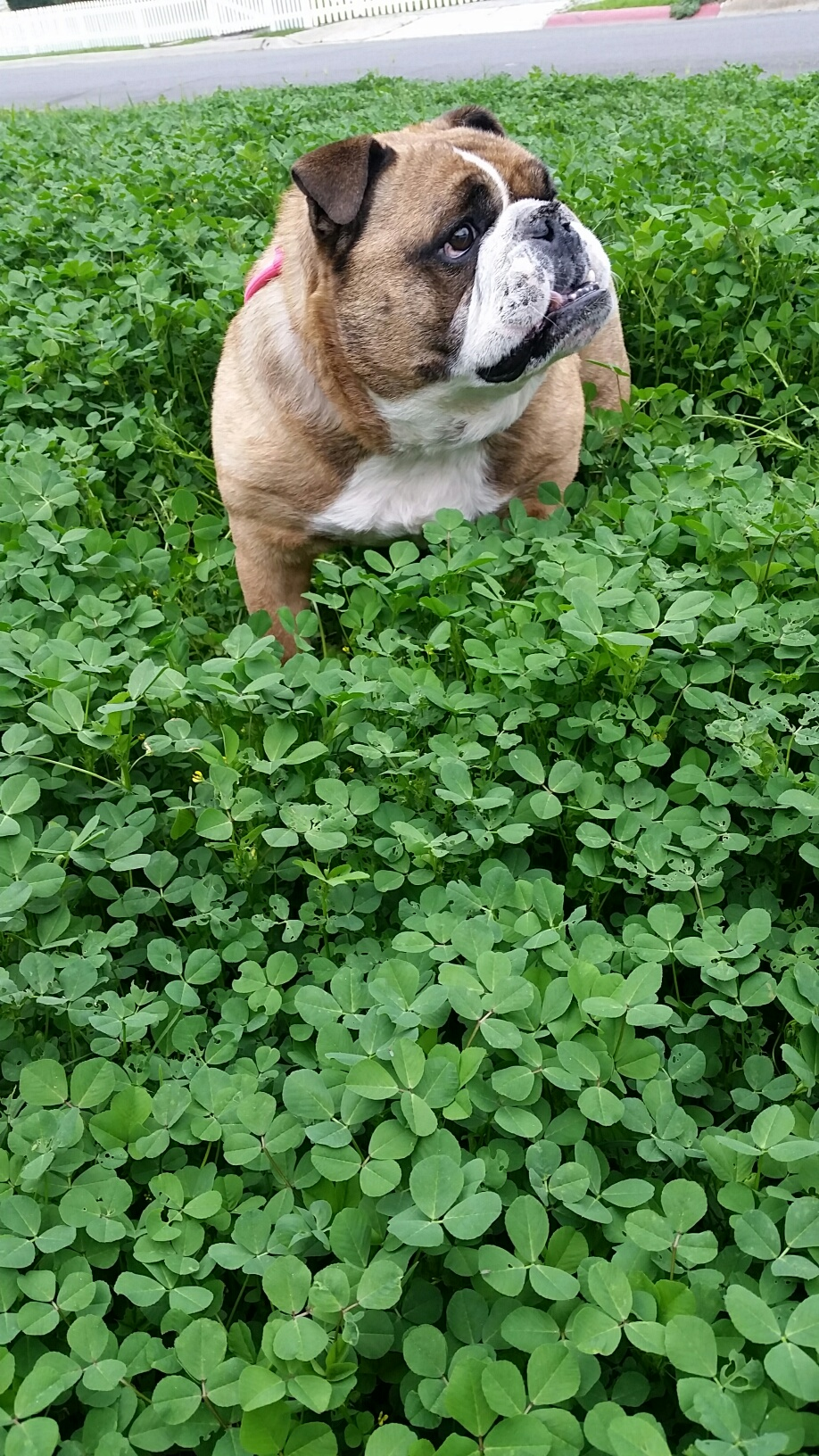 """This is a photo I took of Peewee on our front """"lawn,"""" which you can see puts him chin-deep in clover, despite the drought. Jack uses this photo as the wallpaper on his phone, and I realized that every one of ushas a different photoof Peewee as both wallpaper and lock screen on five or six different devices."""