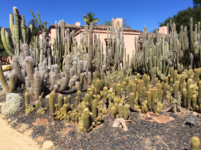 Cactuseses