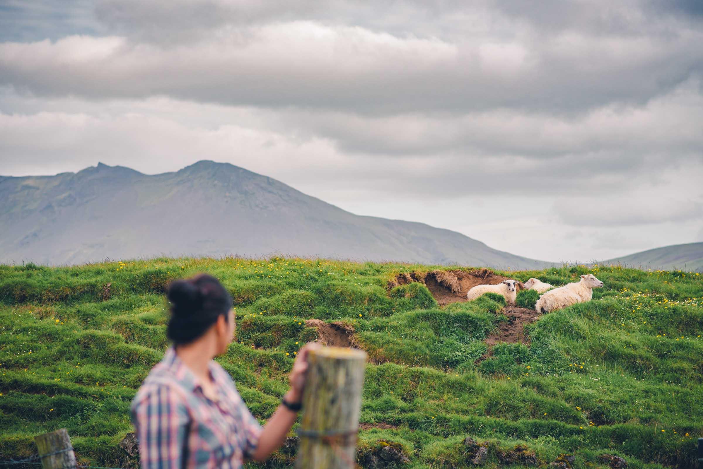 Sheep at Keldur Turf Houses