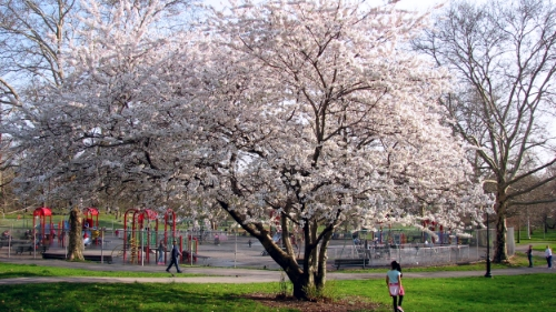 This cherry blossom was the signal for spring I needed, in the lovely Bronx Park.