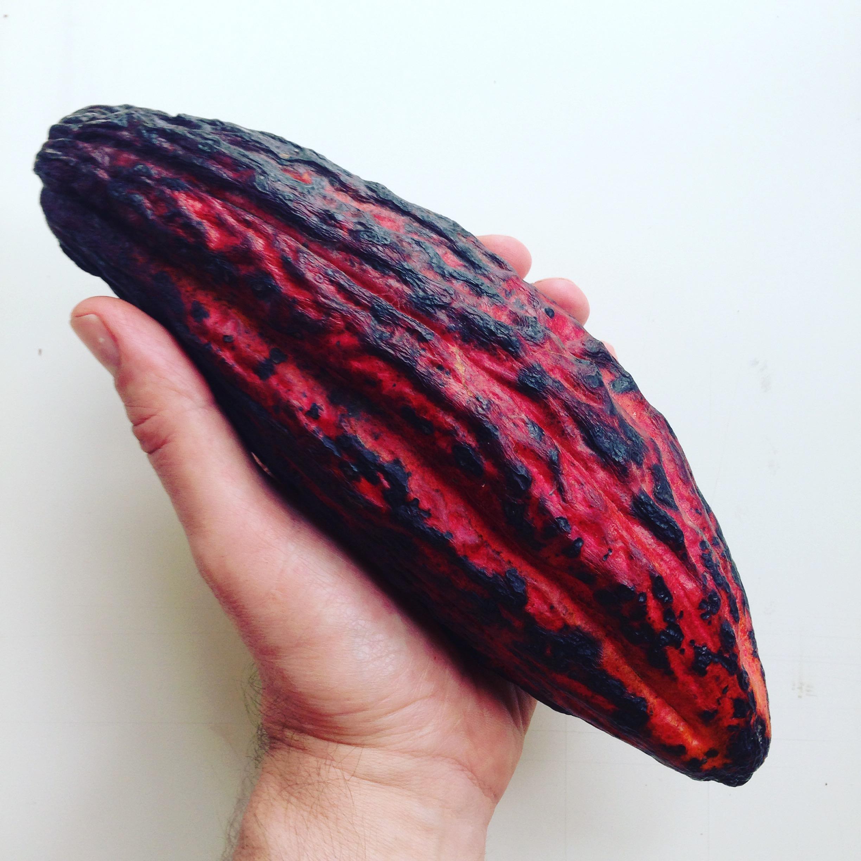 Criollo Cacao Pod
