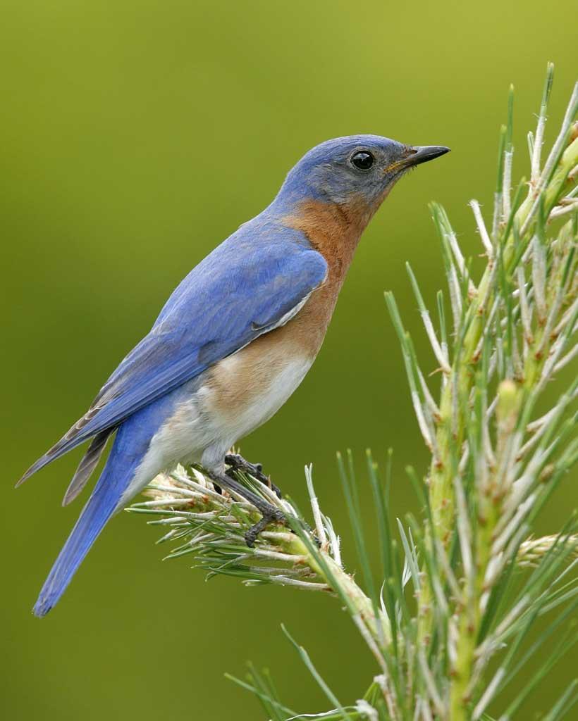 Eastern_Bluebird_s52-12-090_l_Brian E. Small_VIREO.jpg