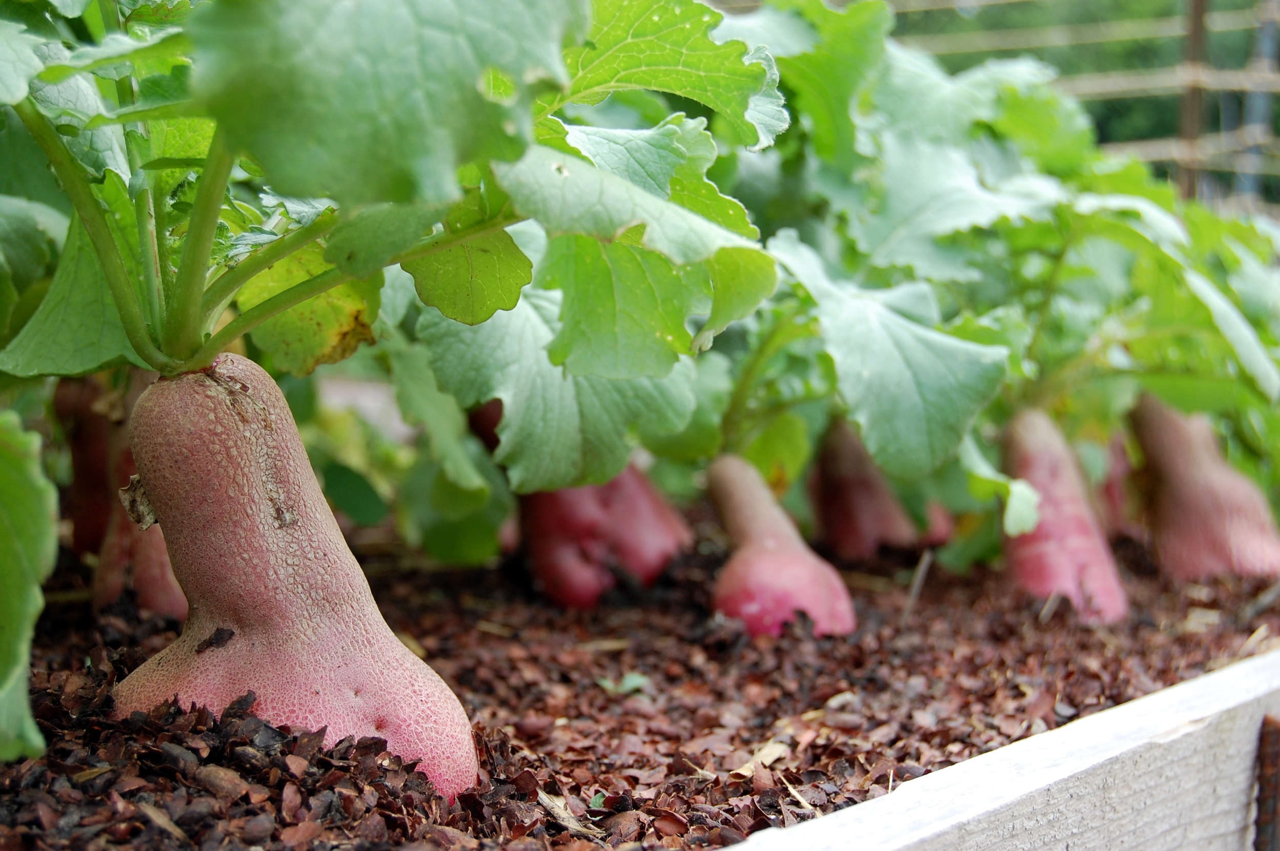 Everything You Need To Know About Radishes Seed Savers