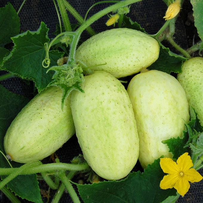 Collier Cucumber