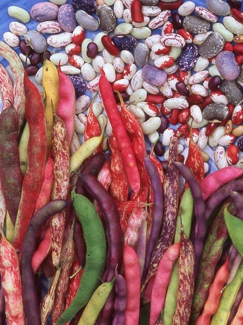 Shell Bean Diversity