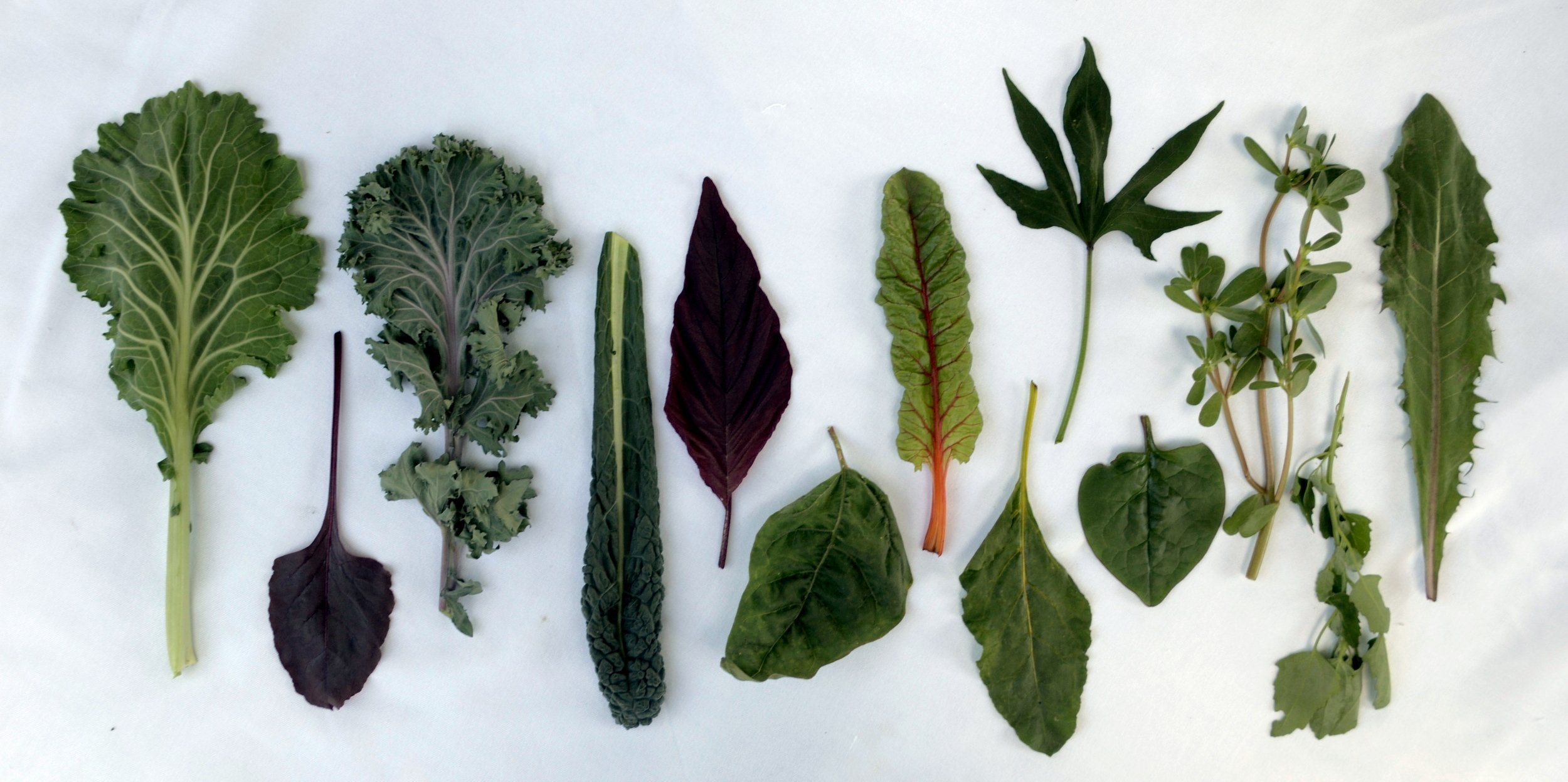 Leaves left to right: Heodrig collard, Bull's Blood beet, Vitessa kale, Lacinato kale, Kerala Red amaranth, Green orach, Orange chard, Burpee's Golden beet, Gold Nugget sweet potato, Red malabar spinach, purslane, lamb's quarters, dandelion.