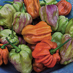Habanero Mustard Pepper
