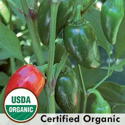 Jalapeno Traveler Strain Organic Pepper