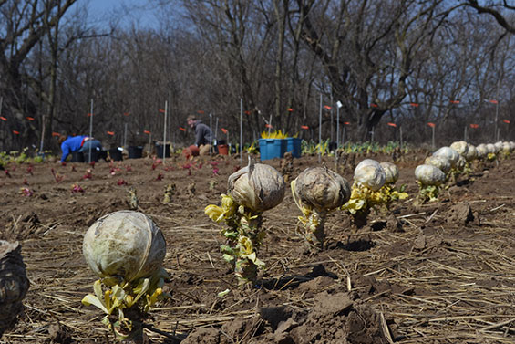 Early Spring Cabbage Planting