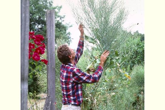 Harvesting Biennial Seed