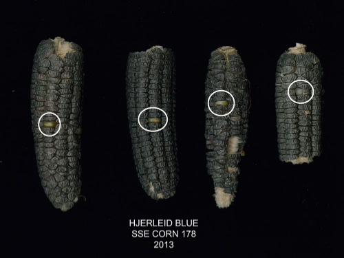 'Hjerleid Blue' corn