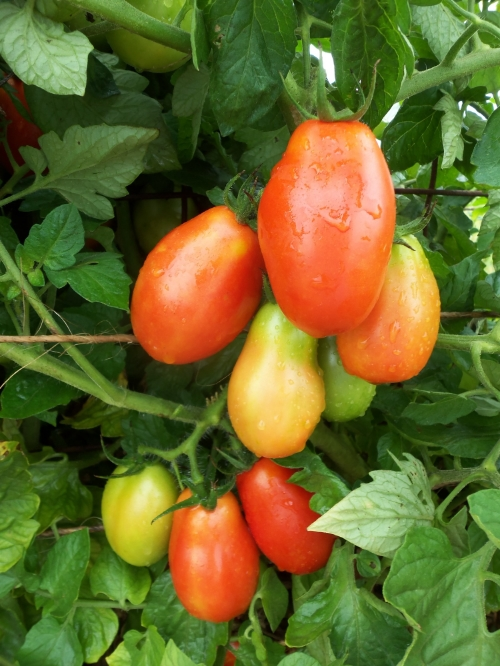 To speed up this process, seed savers must deliberately remove the coating from the tomato seed through the process of fermentation.