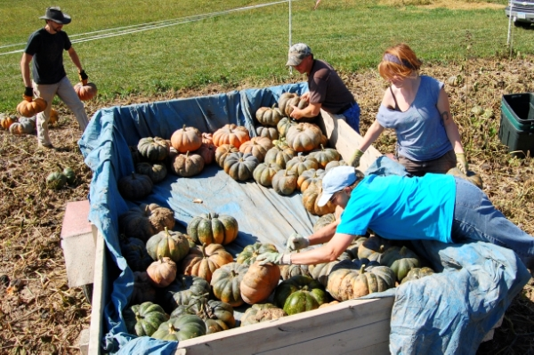 Staff at Seed Savers Exchange harvest Musquee de Provence Squash in September of 2012.