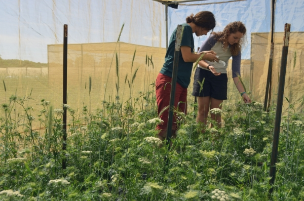Amy, Seed Savers Exchange's Greenhouse Manager, works with Katie to release pollinators into isolation tents that prevent cross-pollination between varieties.