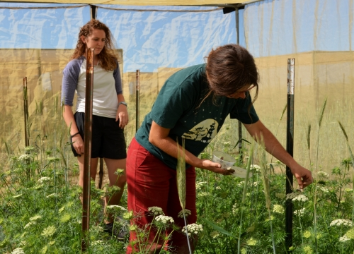 Katie, left, works with Amy to release pollinators in an isolation tent that prevents varieties from crossing pollen.