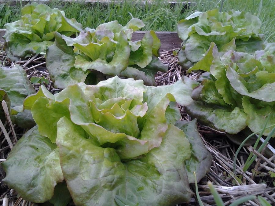 Grandma Hadley's Lettuce, Courtesy of Cathryn Thomas