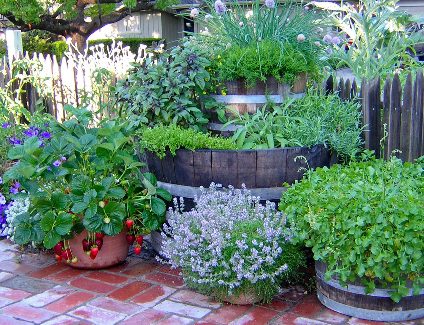 All my favorite culinary herbs can be grown in a few recycled wine barrels. Notice that one is a smaller one nested on top of a large one. Here Thai basil, chives, savory, tarragon, sage, French sorrel, and thyme are grouped together and watered by drip irrigation on an automatic timer that comes on twice a day for 5 minutes all summer. A bonus container of strawberries is on the same system. (Photo courtesy of Rosalind Creasy)
