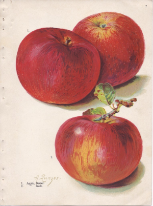 ILlustrations ofapple cultivars. Photo by Alois Lunzer (Brown Brothers Continental Nurseries Catalog 1909) [Public domain], via Wikimedia Commons