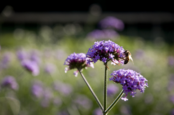 Insect pollinators play an important role in theseed garden