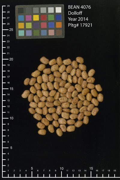 'Dolloff' Dry Beans