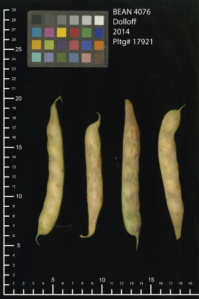 'Dolloff' Shelling beans