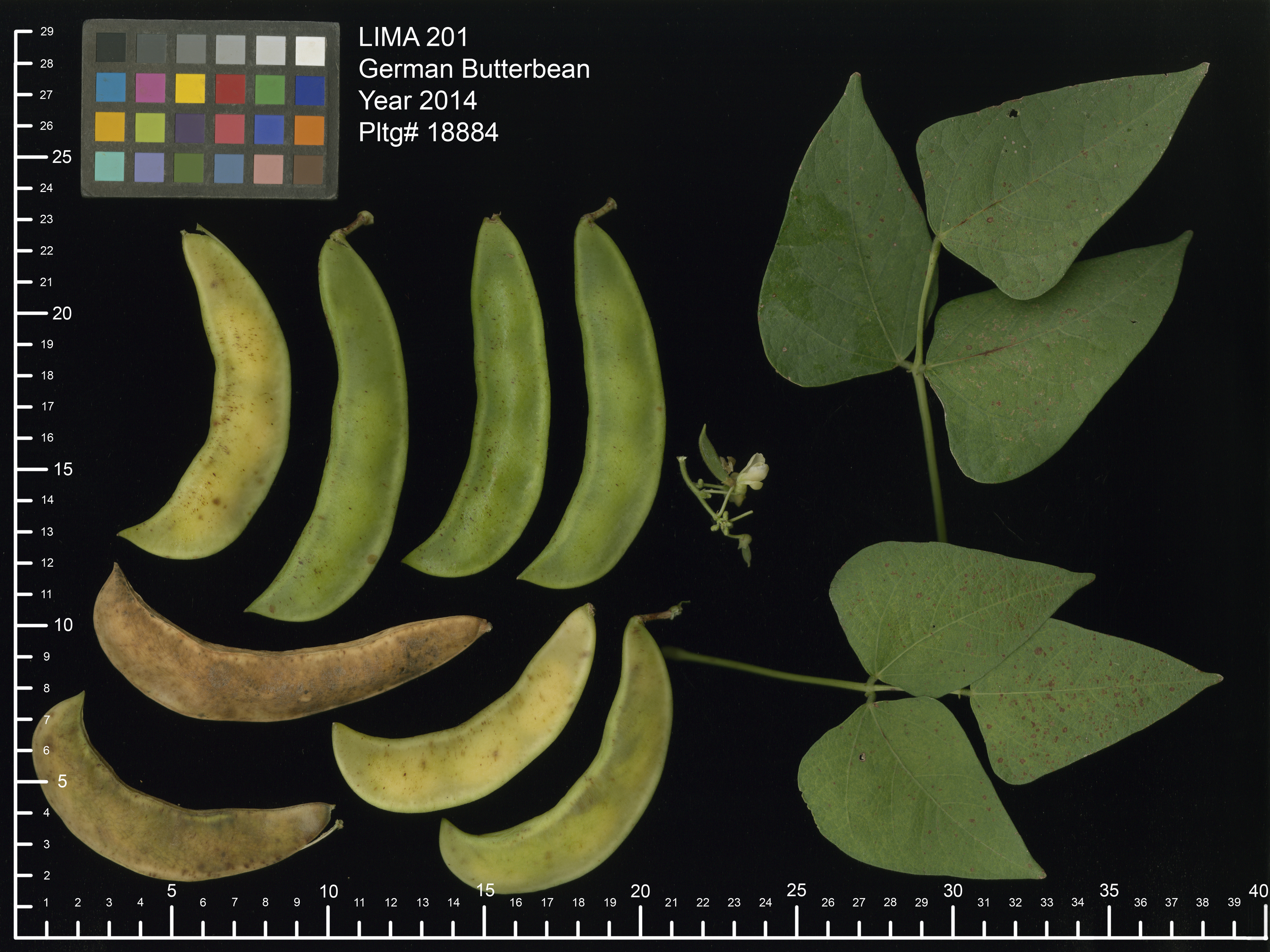 'German Butterbean' lima bean pods and leaves