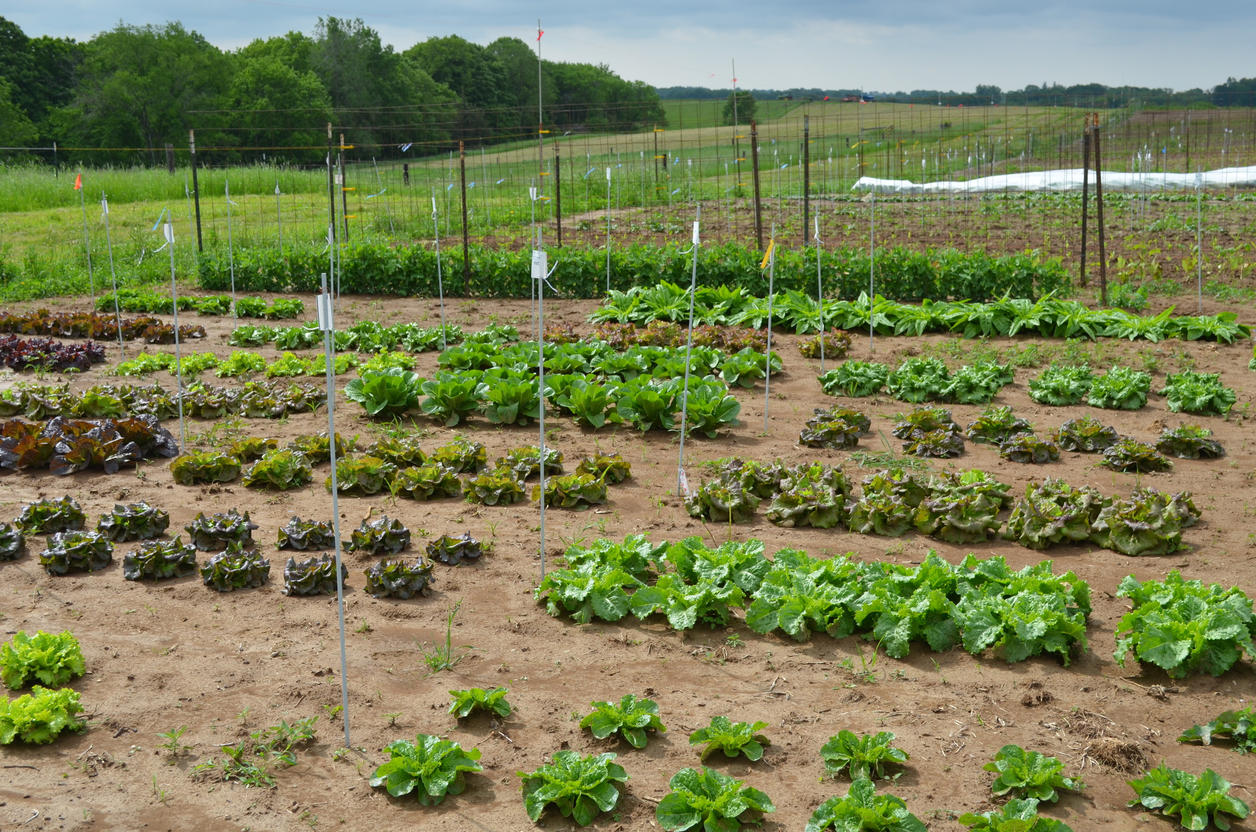 FIelds of plenty (of lettuce) here at Heritage Farm