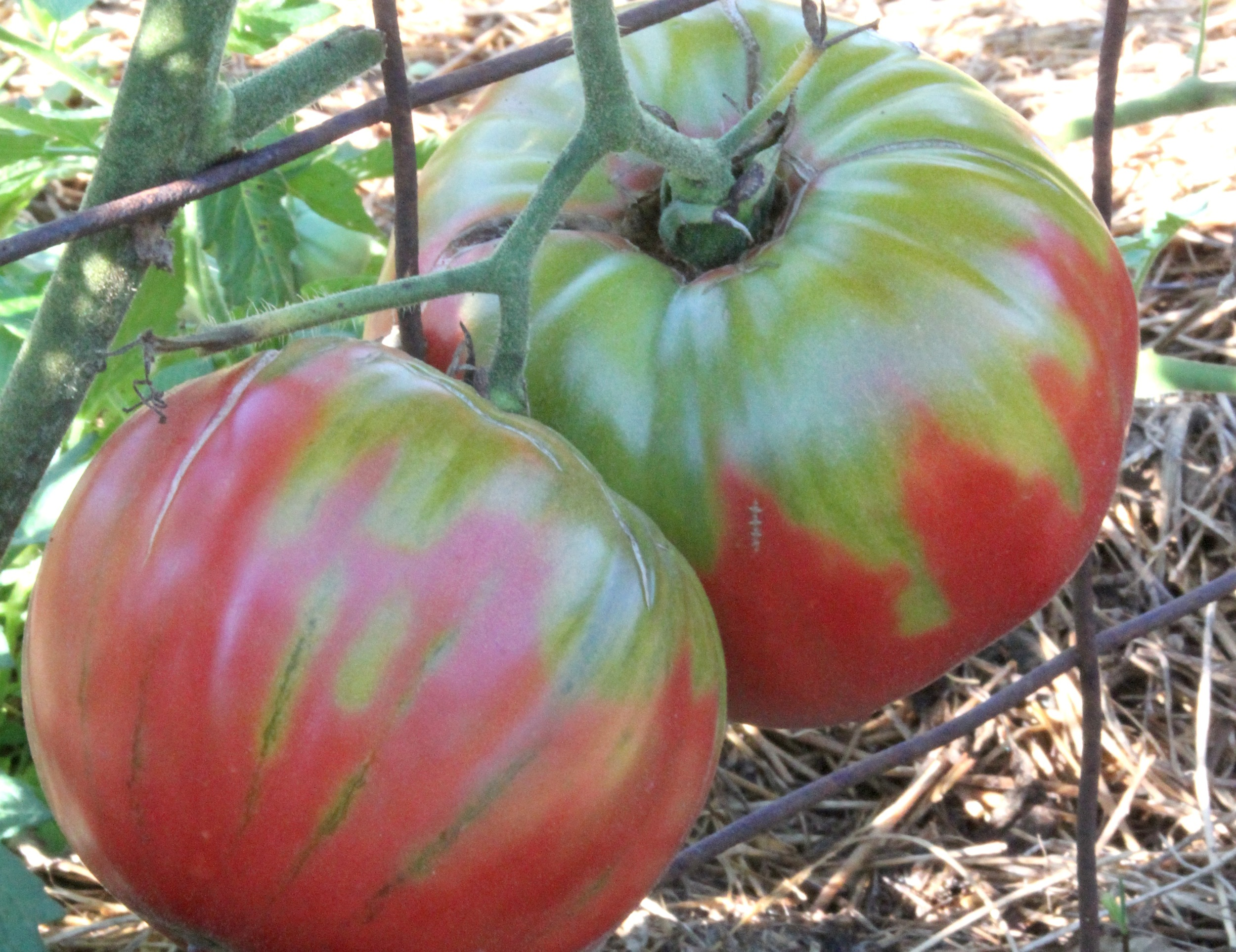 tomatoes-SSE.jpg