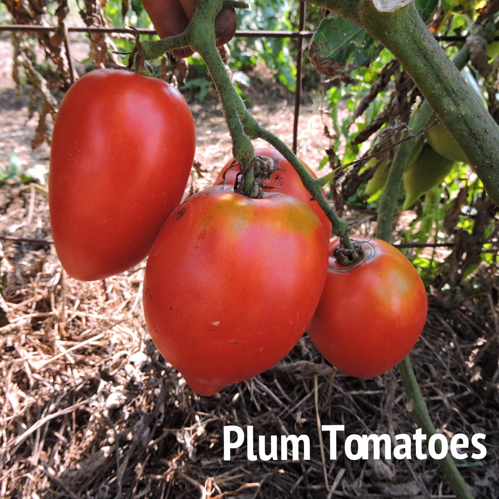 Plum tomato.JPG