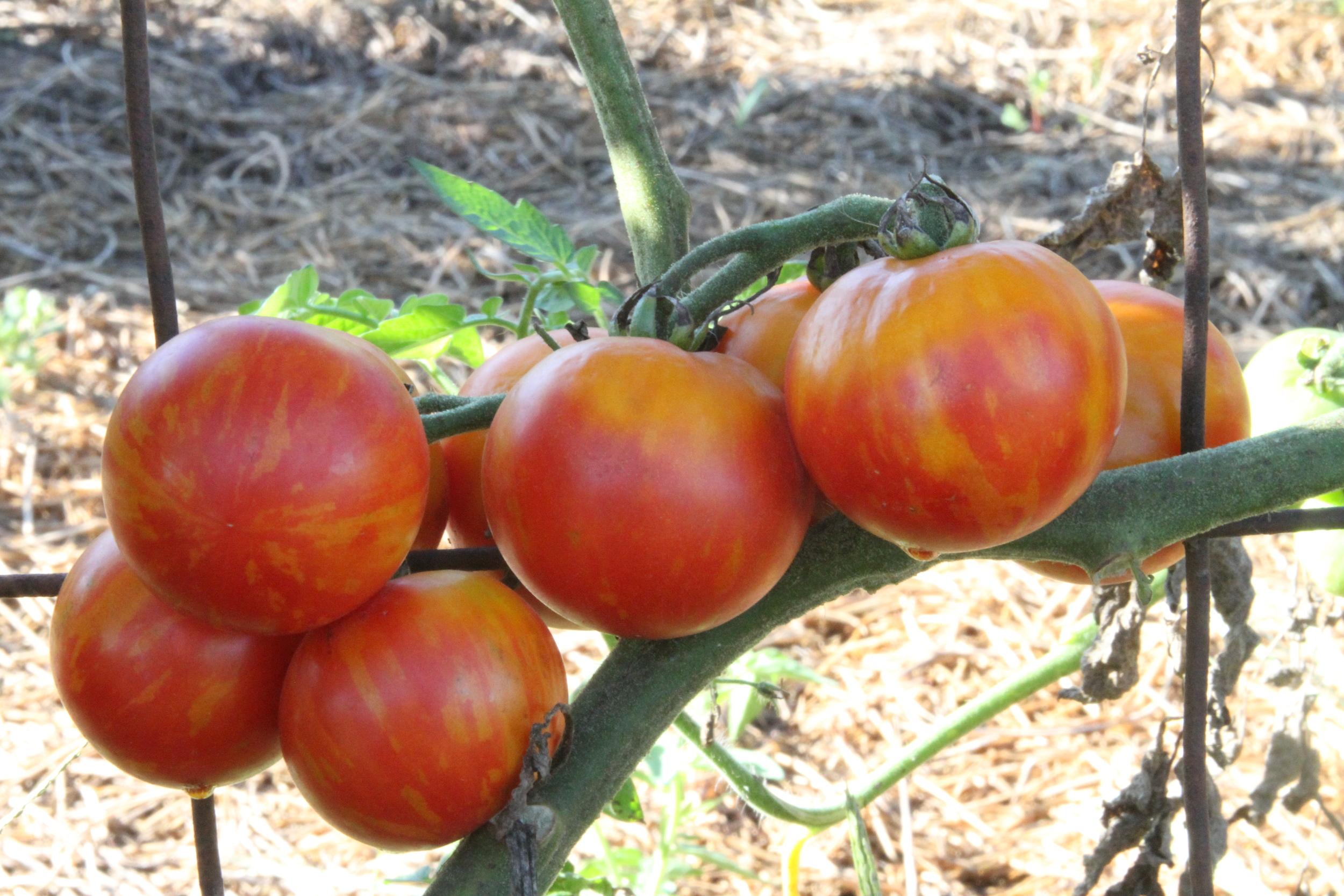 'Tiger Tom' Tomato