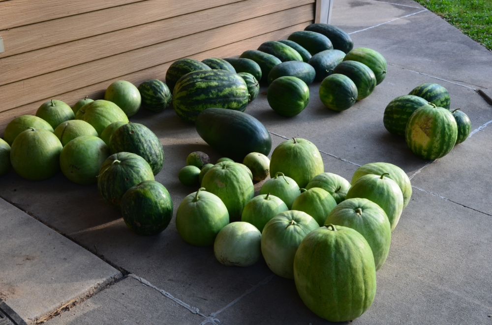 Watermelons fresh from the field