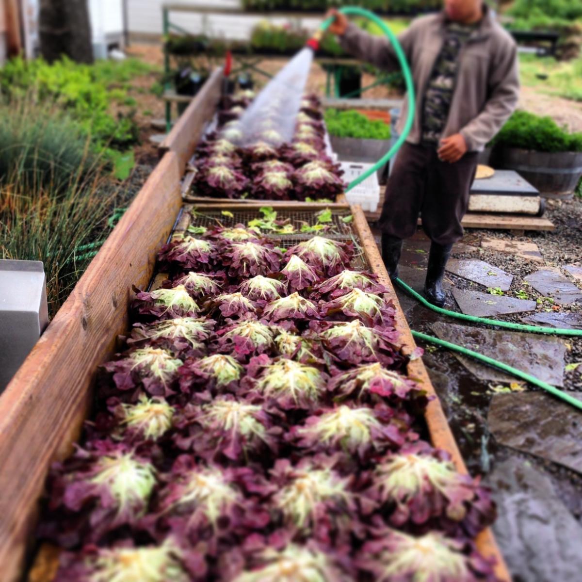 Washing harvest, photo courtesy The French Laundry