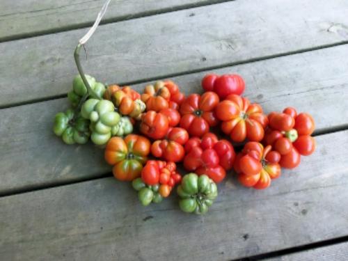 'Reisetomate' tomato