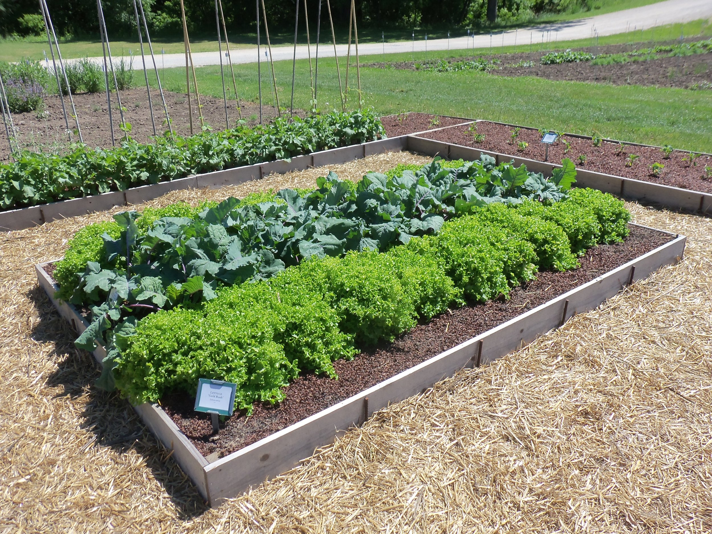Like Carrots, Lettuce thrives in the cool temperatures of spring. direct sow Lettuce seeds as soon as you are able to work your garden soil.