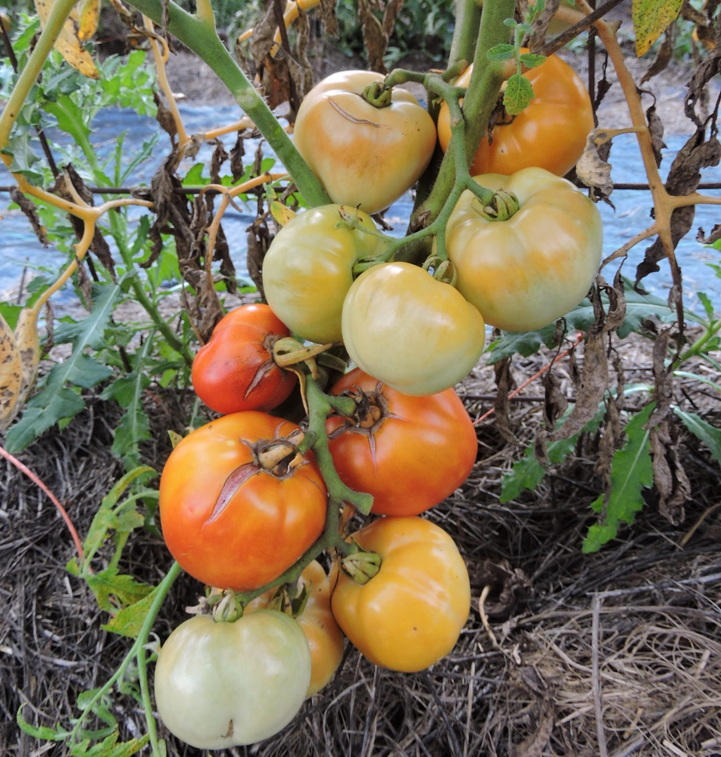 Through field Evaluations, Seed Savers Exchange recently identified its Tomato 364, 'Lutescent,' as Livingston's 'Honor Bright.'