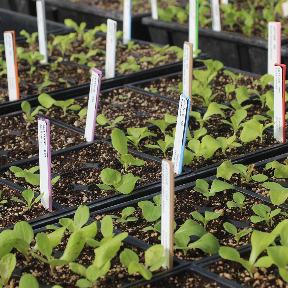 Lettuce seedlings growing in the greenhouse.