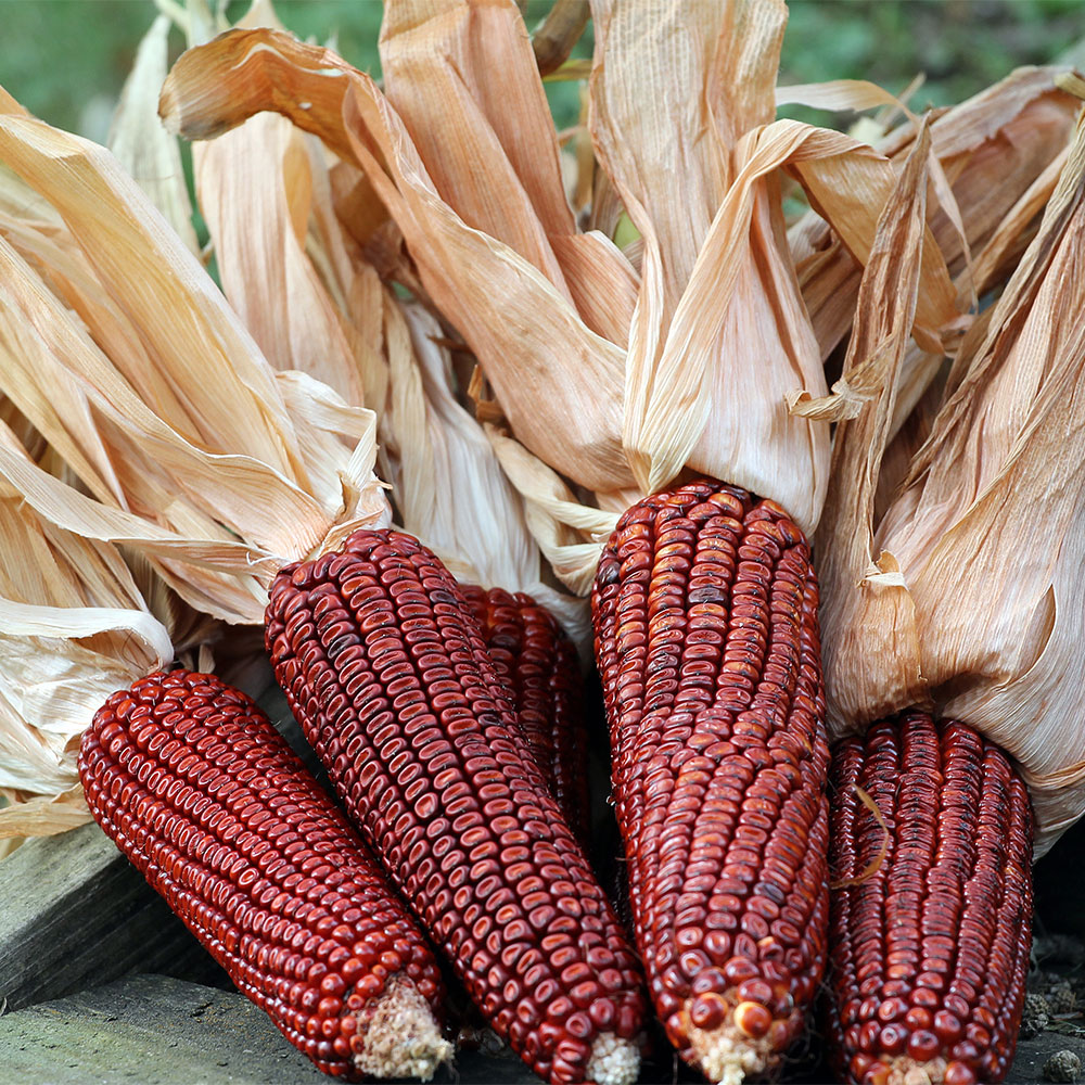 Bloody Butcher, Northern Corn