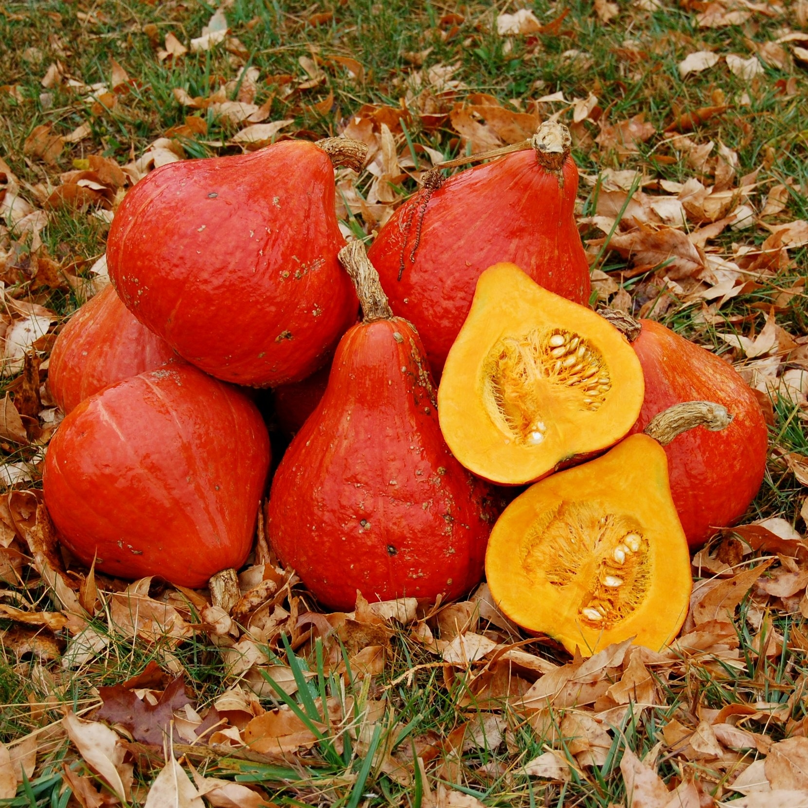 The flavor of potimarron squash is REMINISCENT of chesnuts.