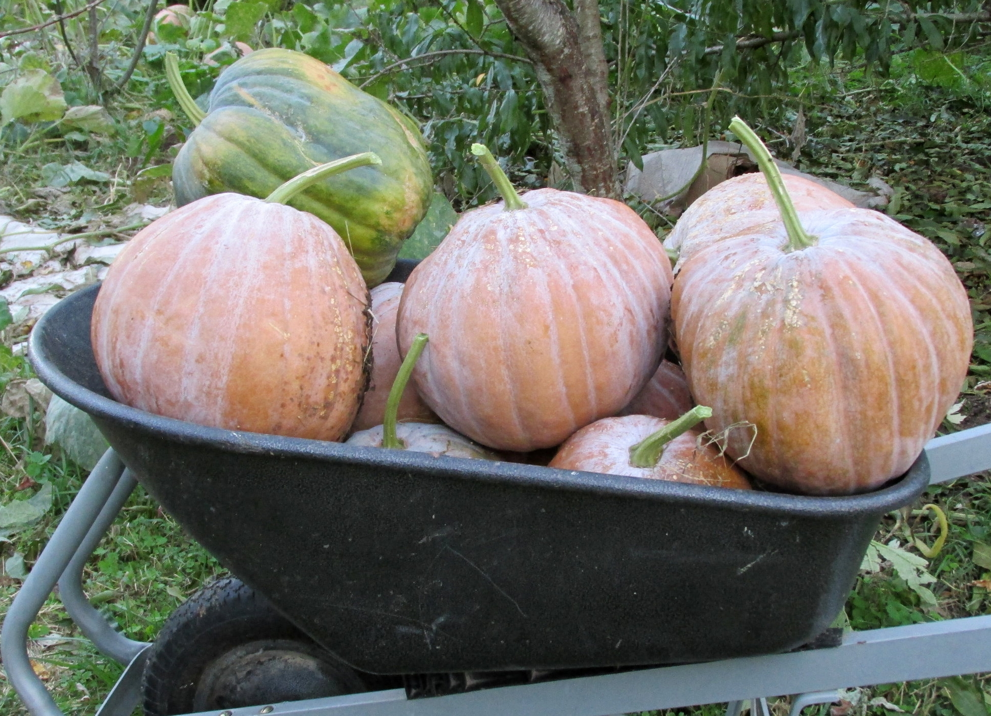 Old Timey Cornfield Pumpkins, which George uses in his Atole recipe.