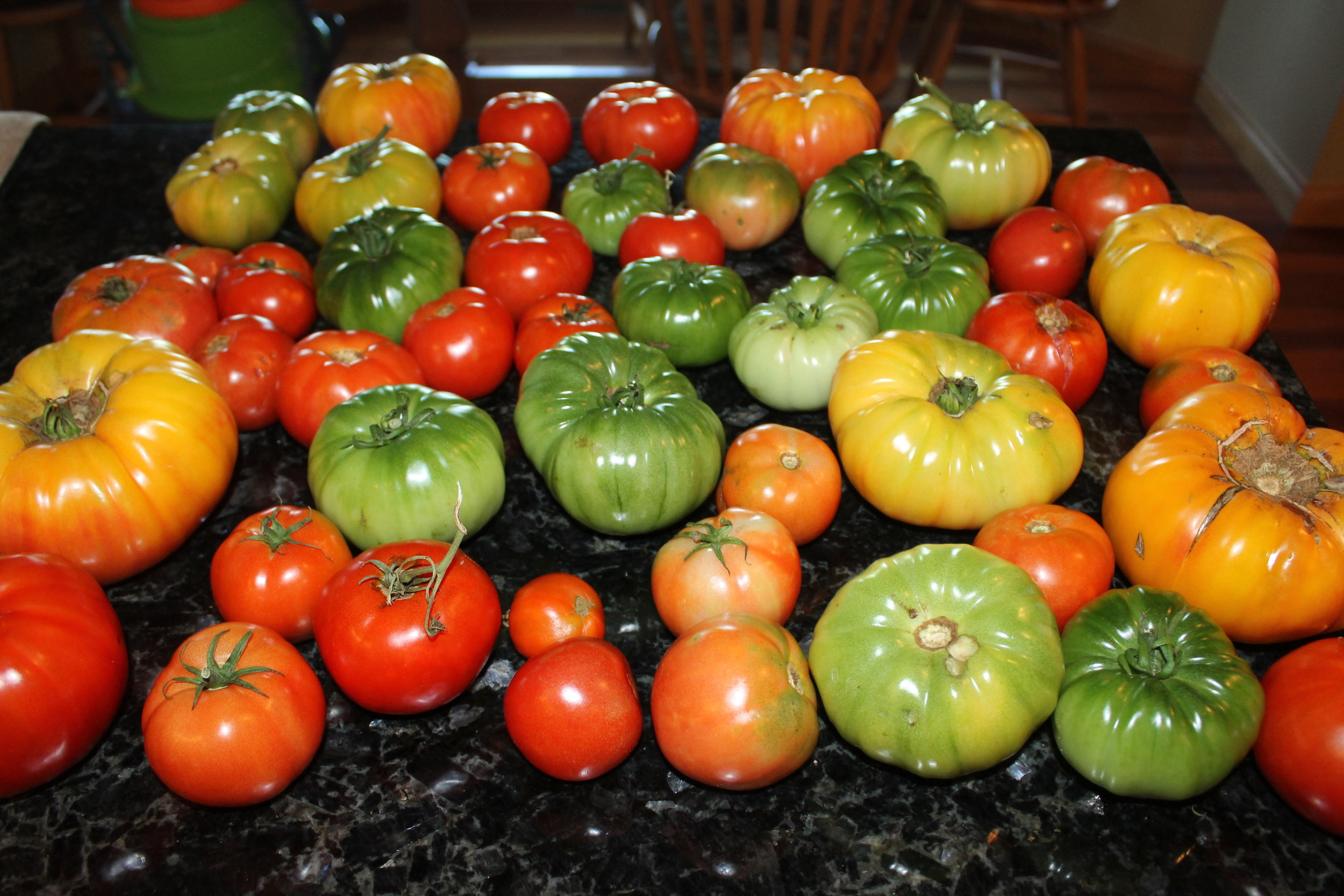 Dozens of Tomatoes decorated my kitchen counter in early October.