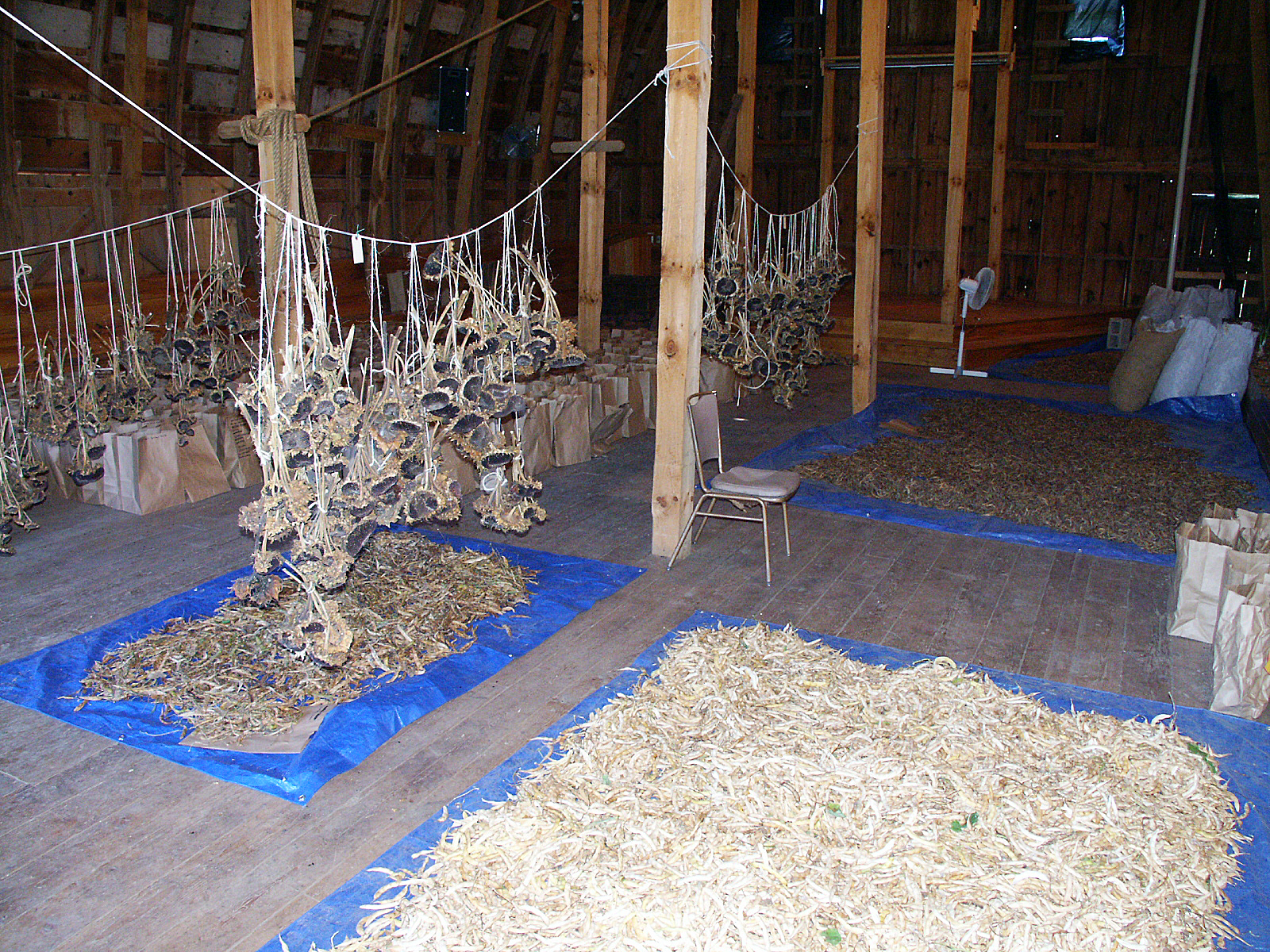 Seeds are hung and laid out for drying in the lower barn at Heritage Farm.