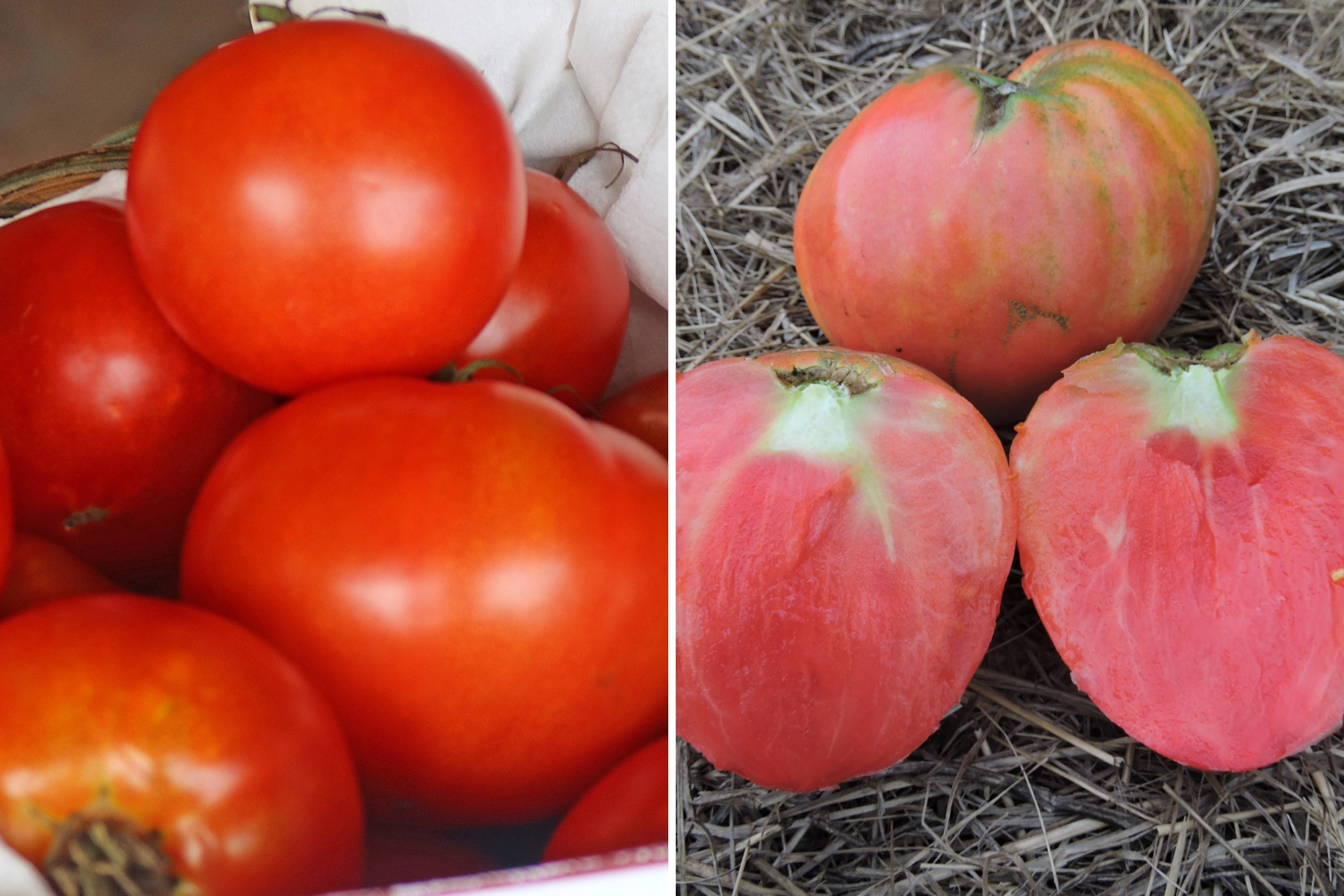 'Wisconsin Chief' Tomato (left) and 'Sterling Old Norway' (right).