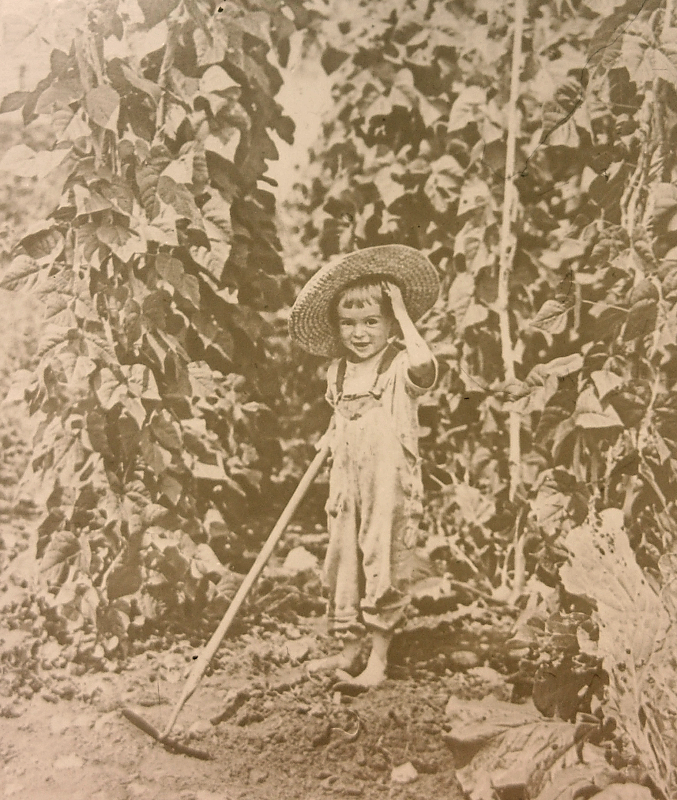 Then just a toddler, Freeland Knight Abbott hoes 'Connecticut Wonder' beans in his family's garden in 1922. The heirloom bean is one of 12 new 'From the Collection' varieties now available from Seed Savers Exchange.