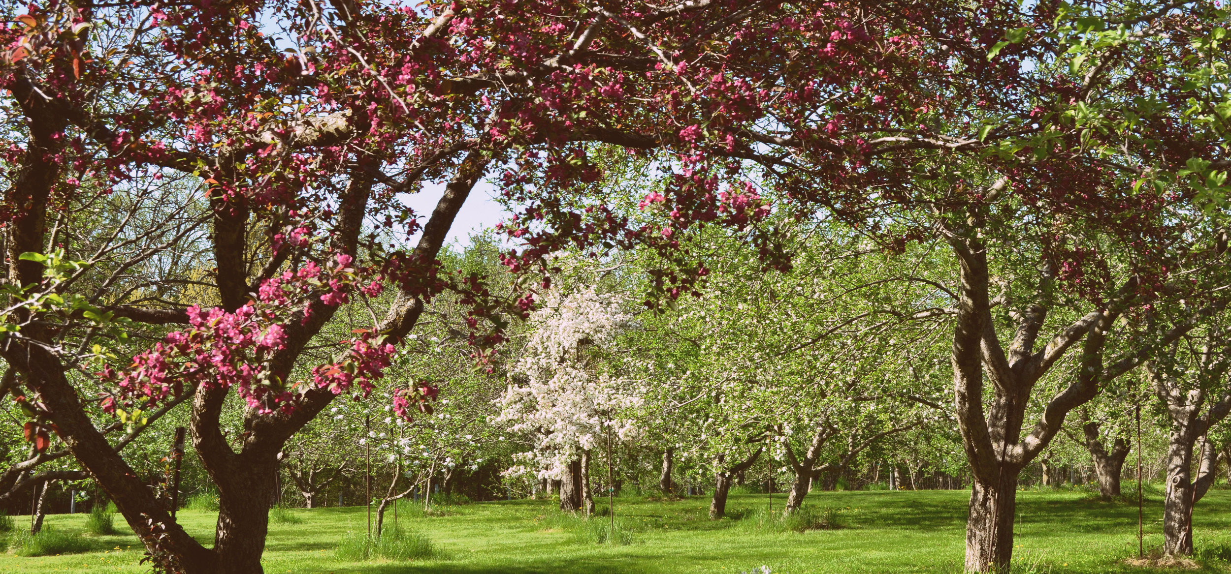 Each spring more than 1,200 rare apple varieties come brilliantly into bloom in Seed Savers Exchange's Historic Orchard.